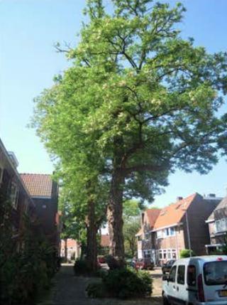 Acacia Boom Utrecht