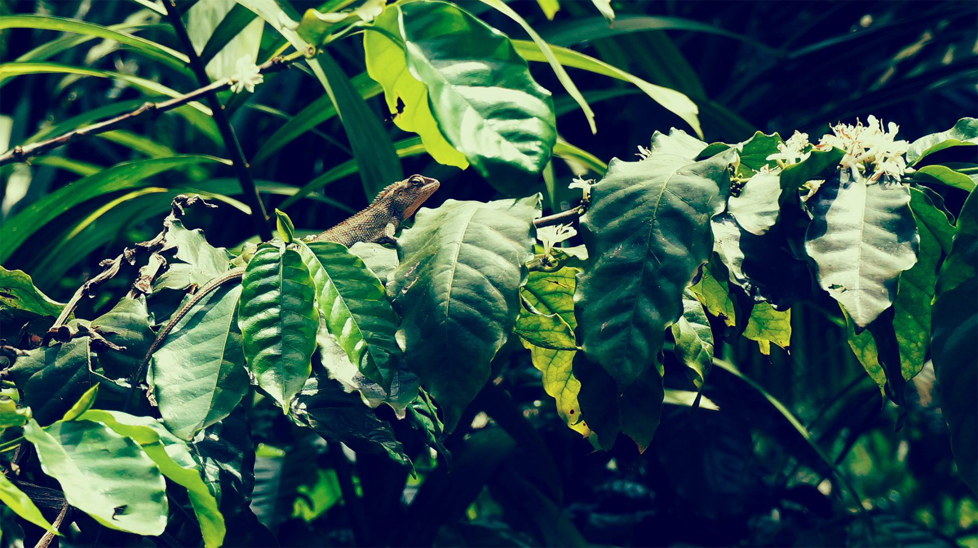 Koffieplantage Mauritius