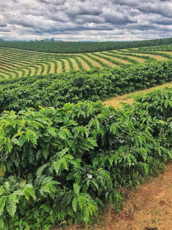 plantage brazilie